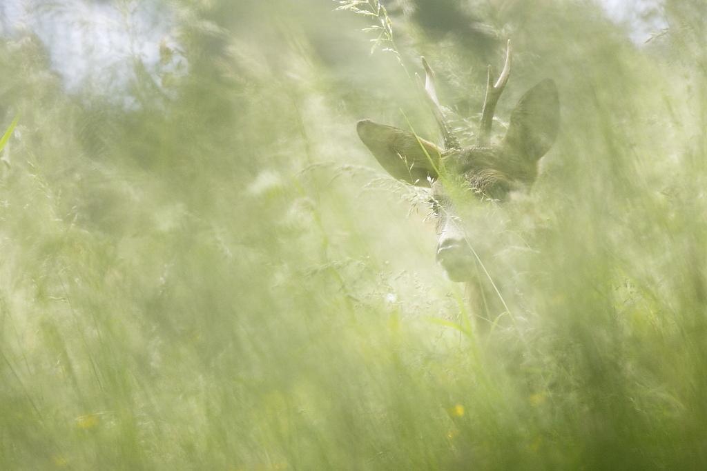 Chevreuil dans les Hautes Herbes