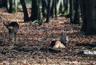 chevreuils au repos