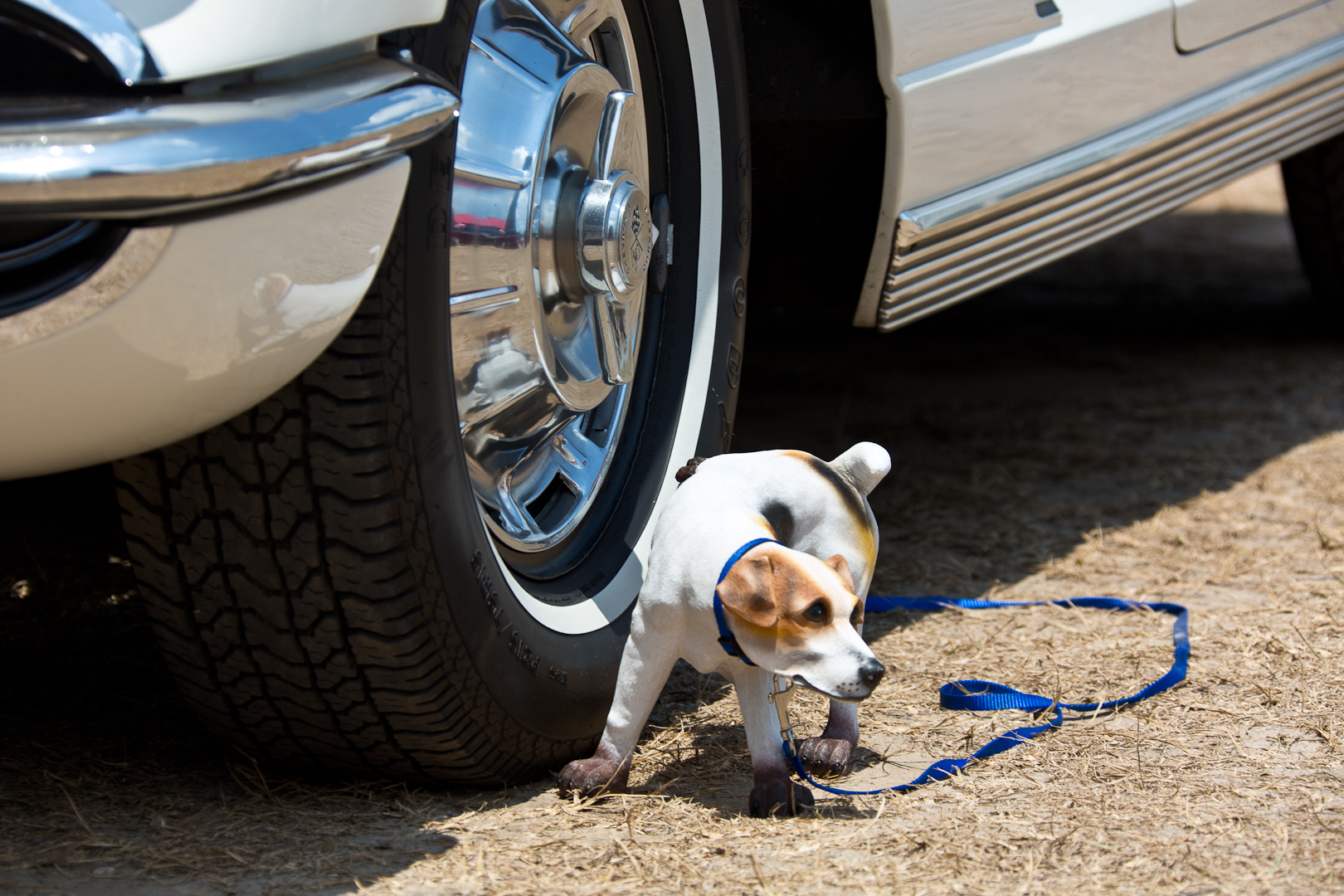 Chevrolet Corvette mit Hund