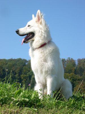 Chicco (Weisser Schäferhund)