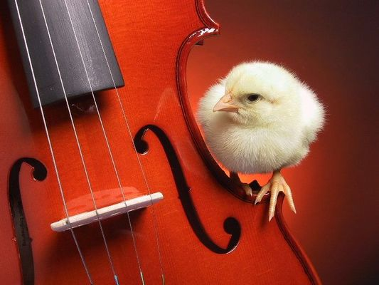 chick fiddle