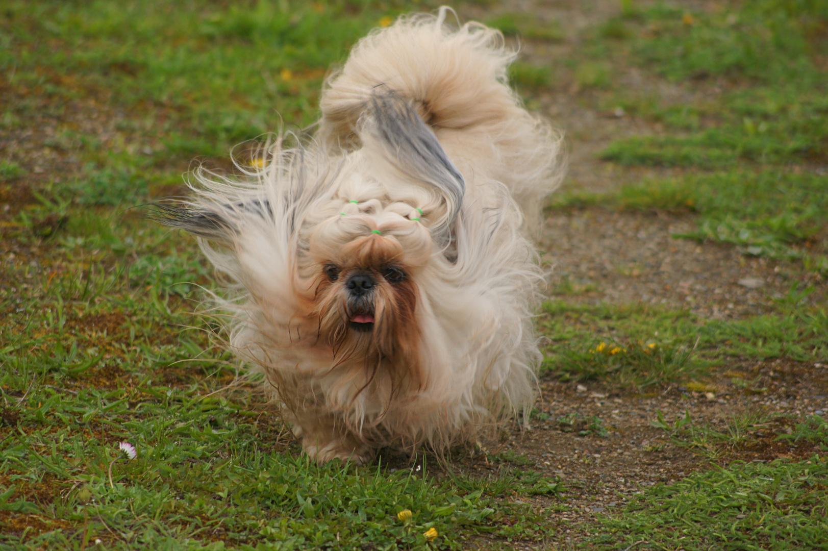 Chico , der Hund einer Freundin