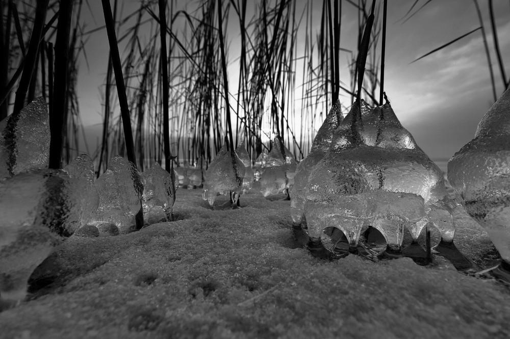 Chiemseeschilf auf Eis