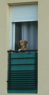 chien aux aguets