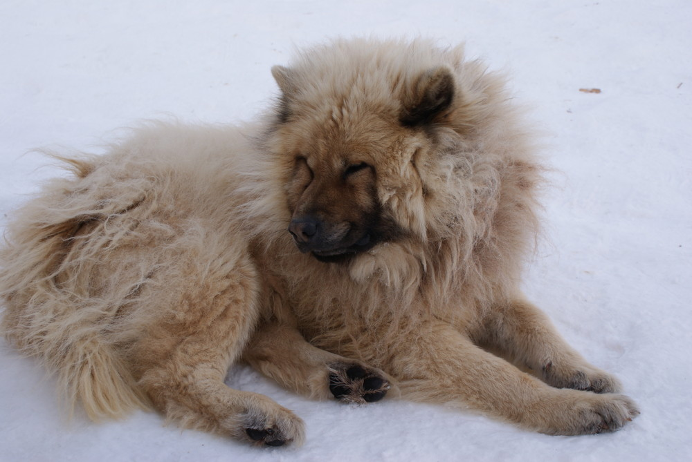 chien de traineau du parc polaire (chaux neuve)
