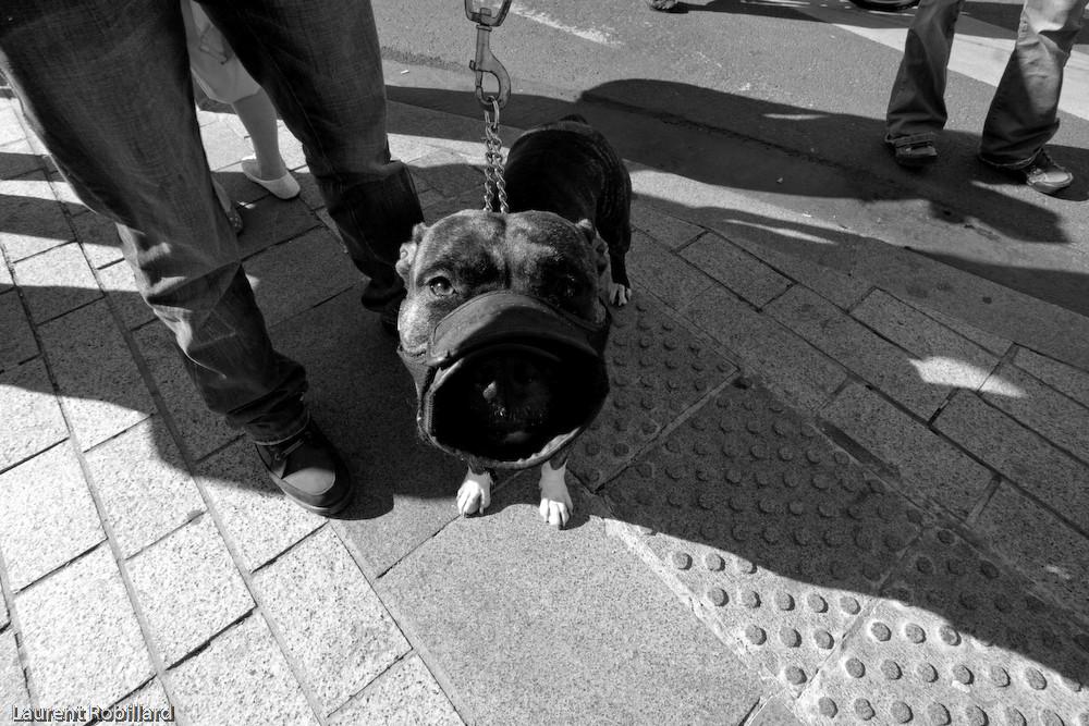 chien féroce