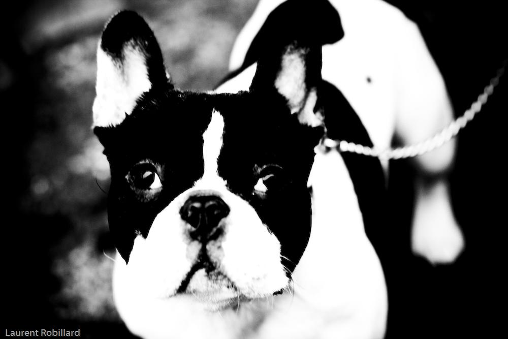 chien n et blanc
