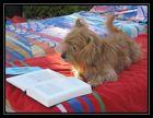 chien savant ou chien lecteur