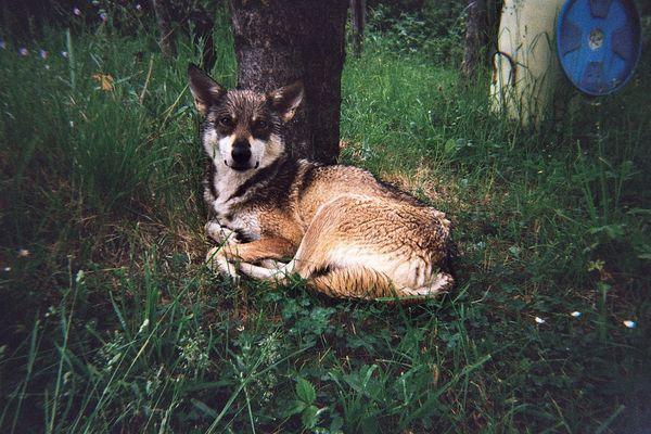 Chienne-louve bulgare