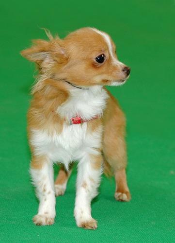 Chihuahua in der Jüngstenklasse auf der CACIB in Erfurt