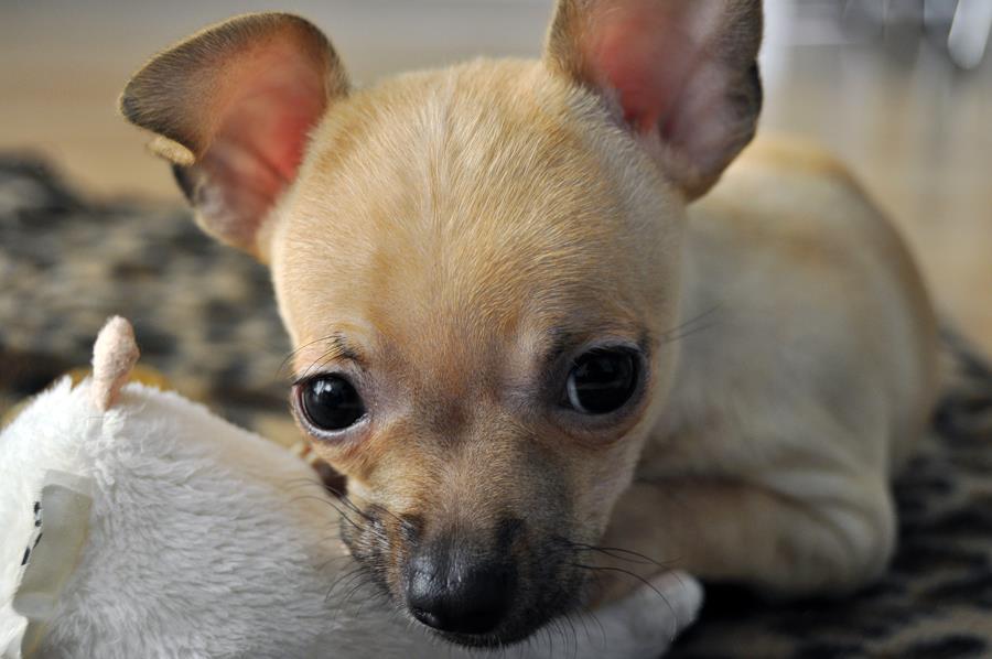 Chihuahua Mugen