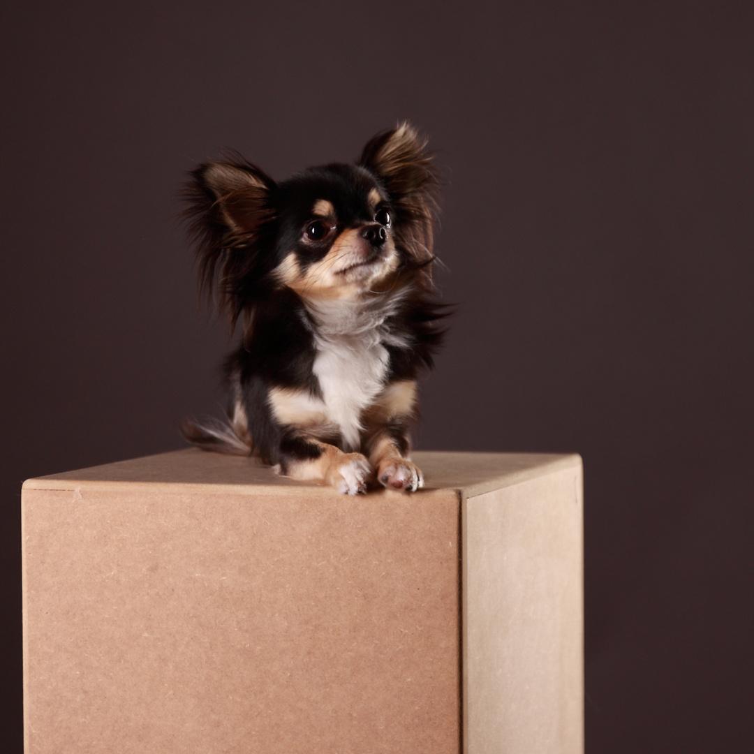 Chihuahua PICCOLO