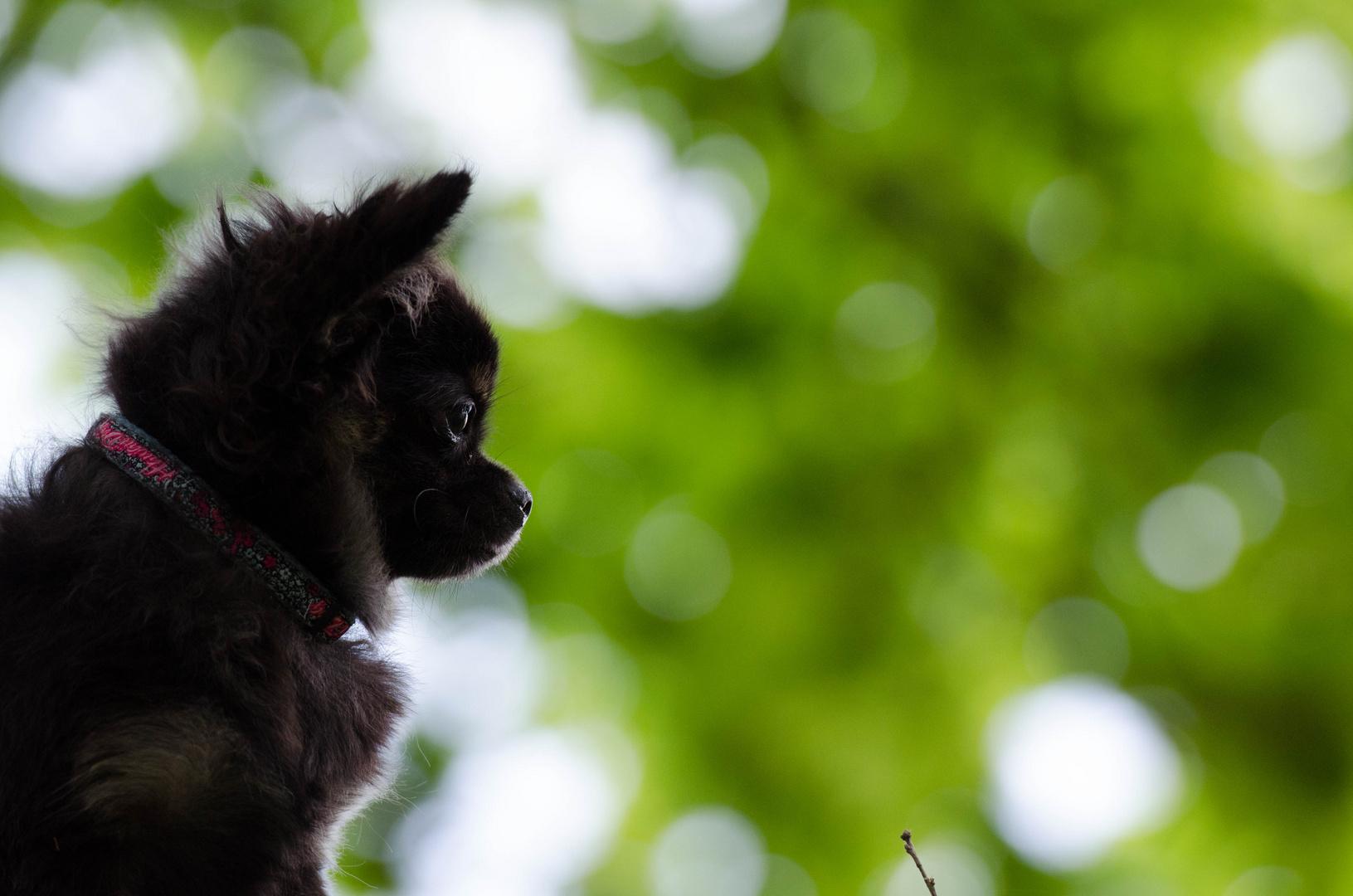 Chihuahua ,, Qju,,
