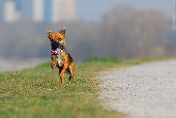 Chihuahua Sally