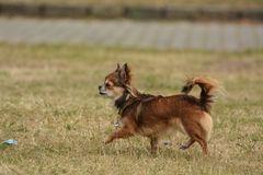 Chihuahua stolziert über eine Wiese