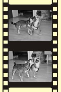 Chihuahuas beim spielen