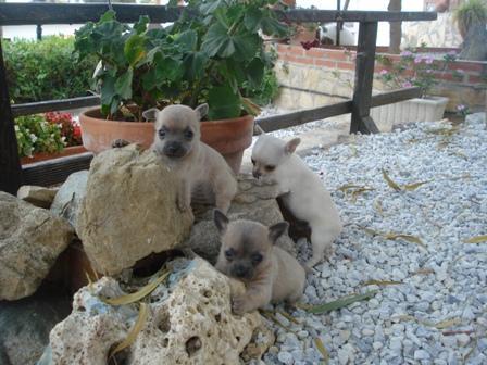 chihuahuas live......