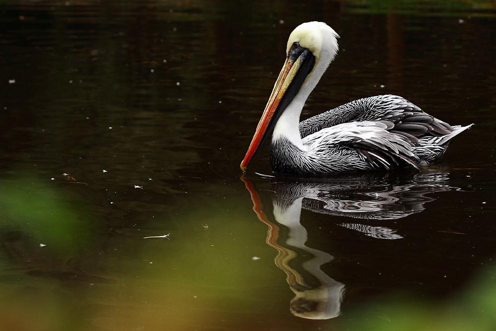 Chile-Pelikan, auf Teich schwimmend, mit garantiert echter, nicht gestempelter Spiegelung