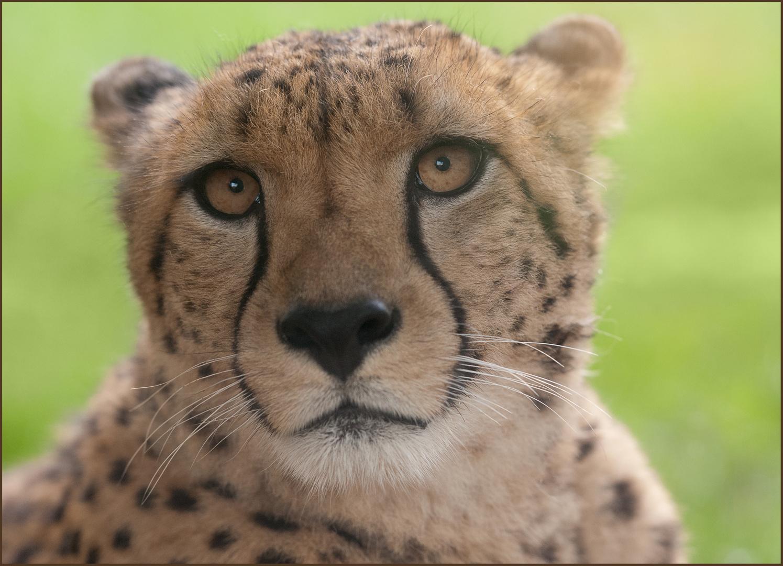 chillen mit Cheetah