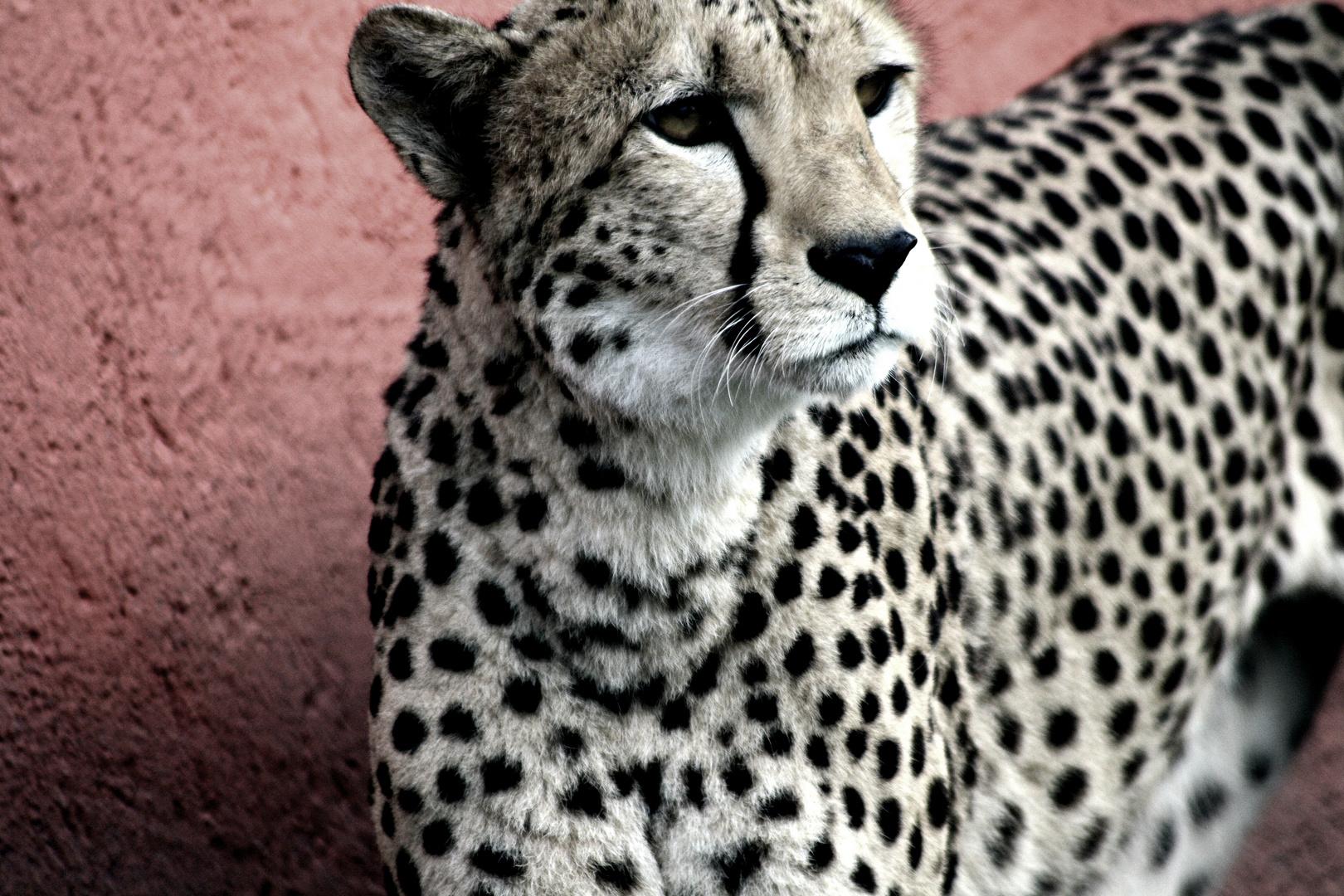Chilliger Gepard