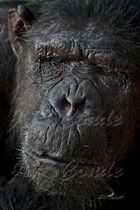 chimpancé zoo Barcelona