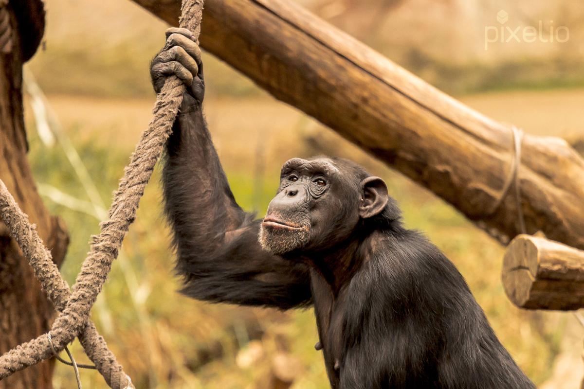 Chimpanse am Seil