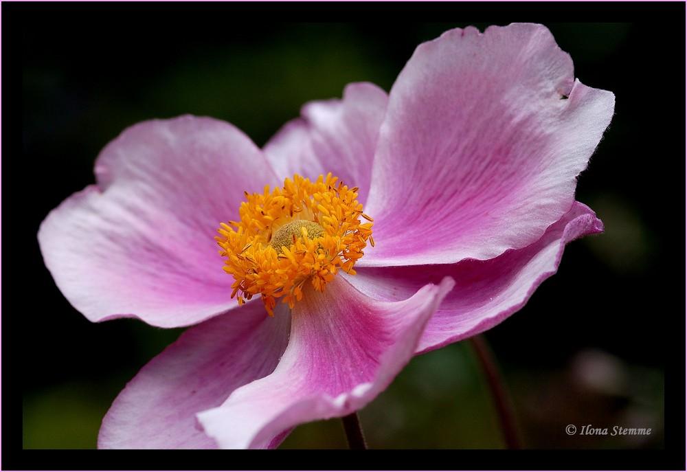 China-Anemone