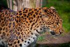 Chinaleopard