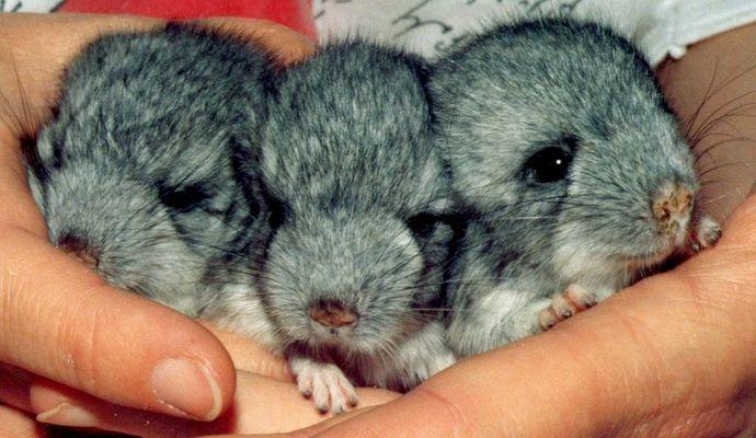 Chinchilla-Babies