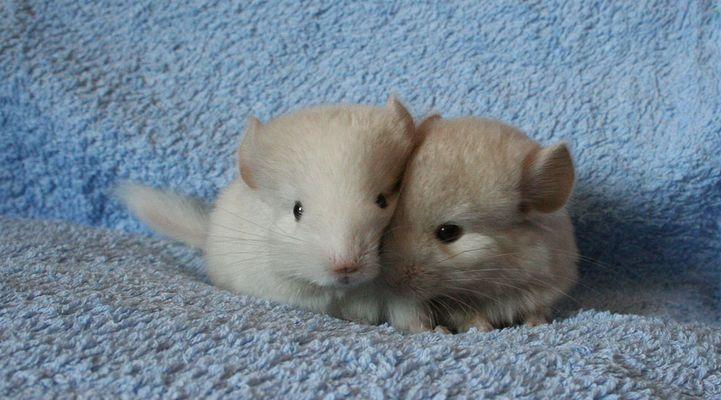 Chinchilla Babys