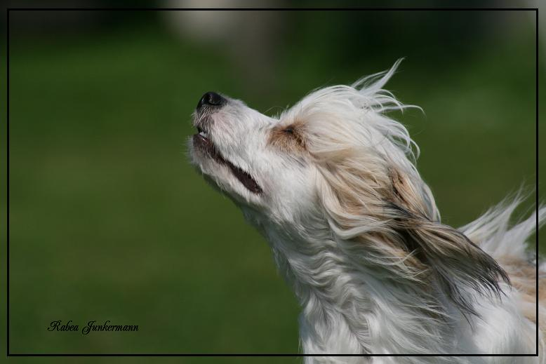 Chinese Crested, Rüde