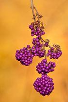 Chinesische Schönfrucht