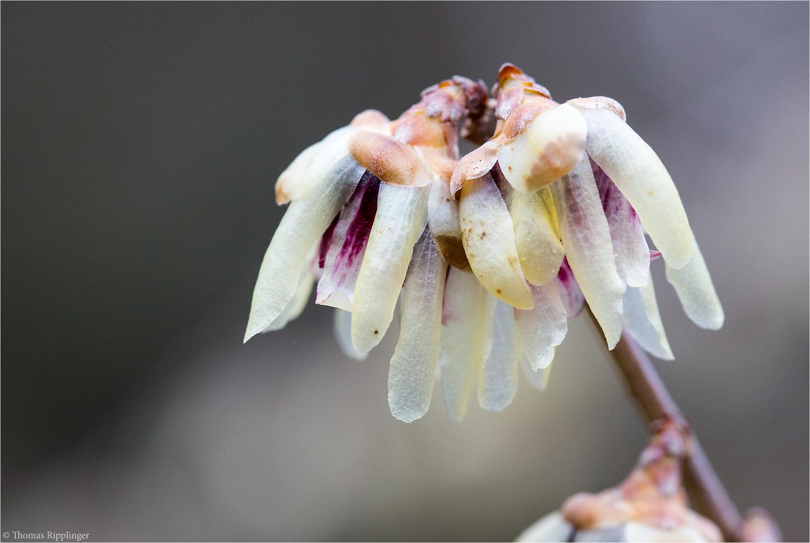 Chinesische Winterblüte (Chimonanthus praecox).