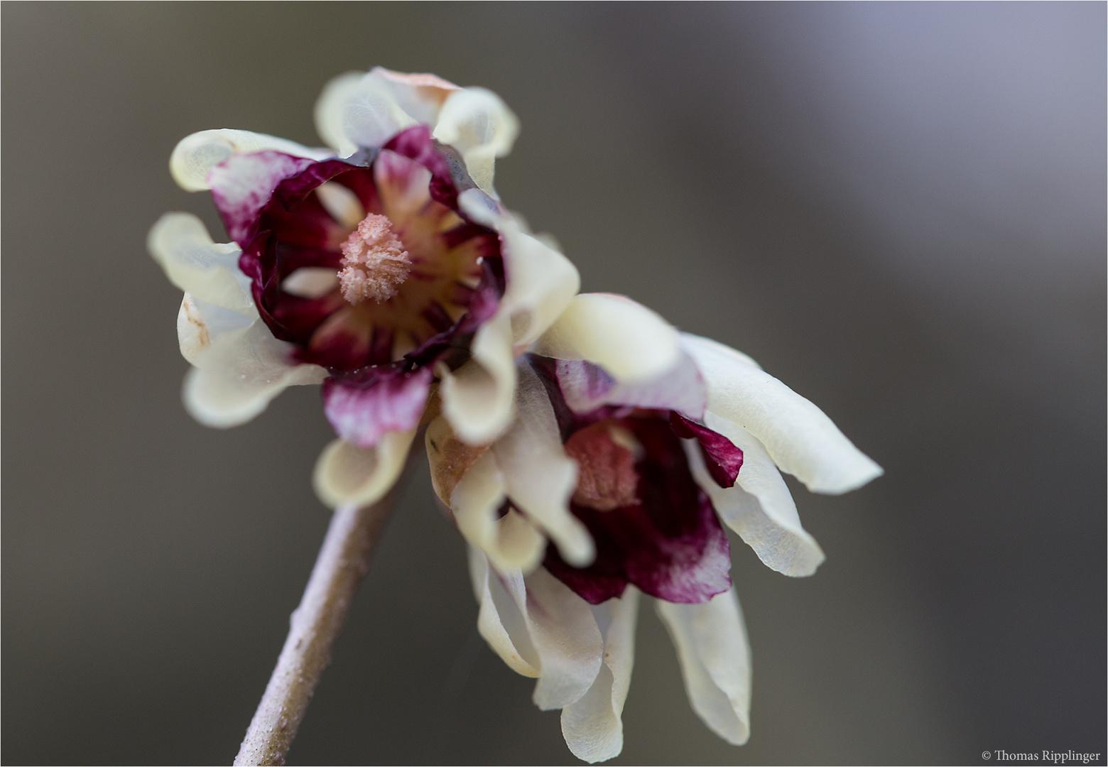 Chinesische Winterblüte (Chimonanthus praecox)...