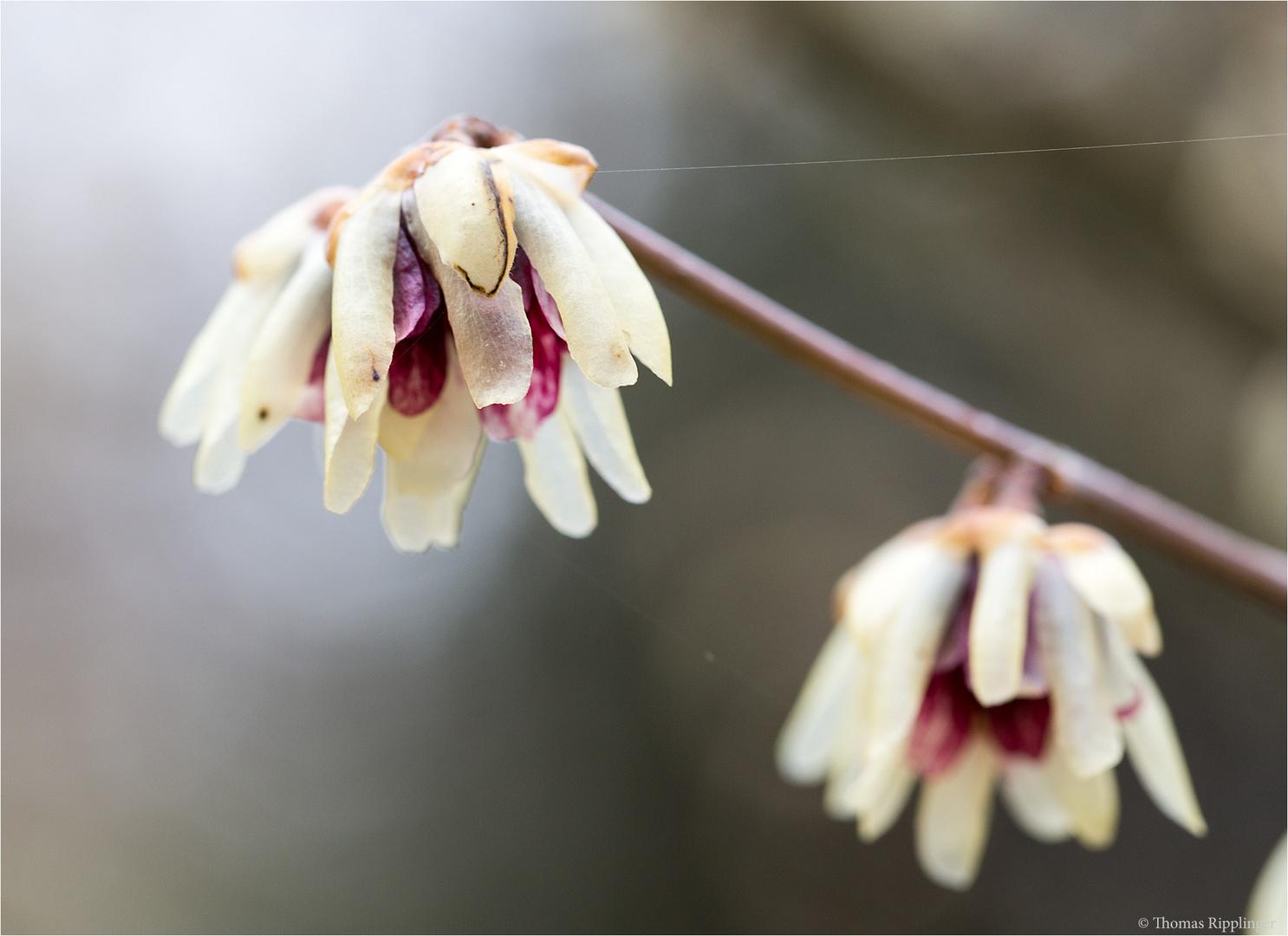 Chinesische Winterblüte (Chimonanthus praecox)