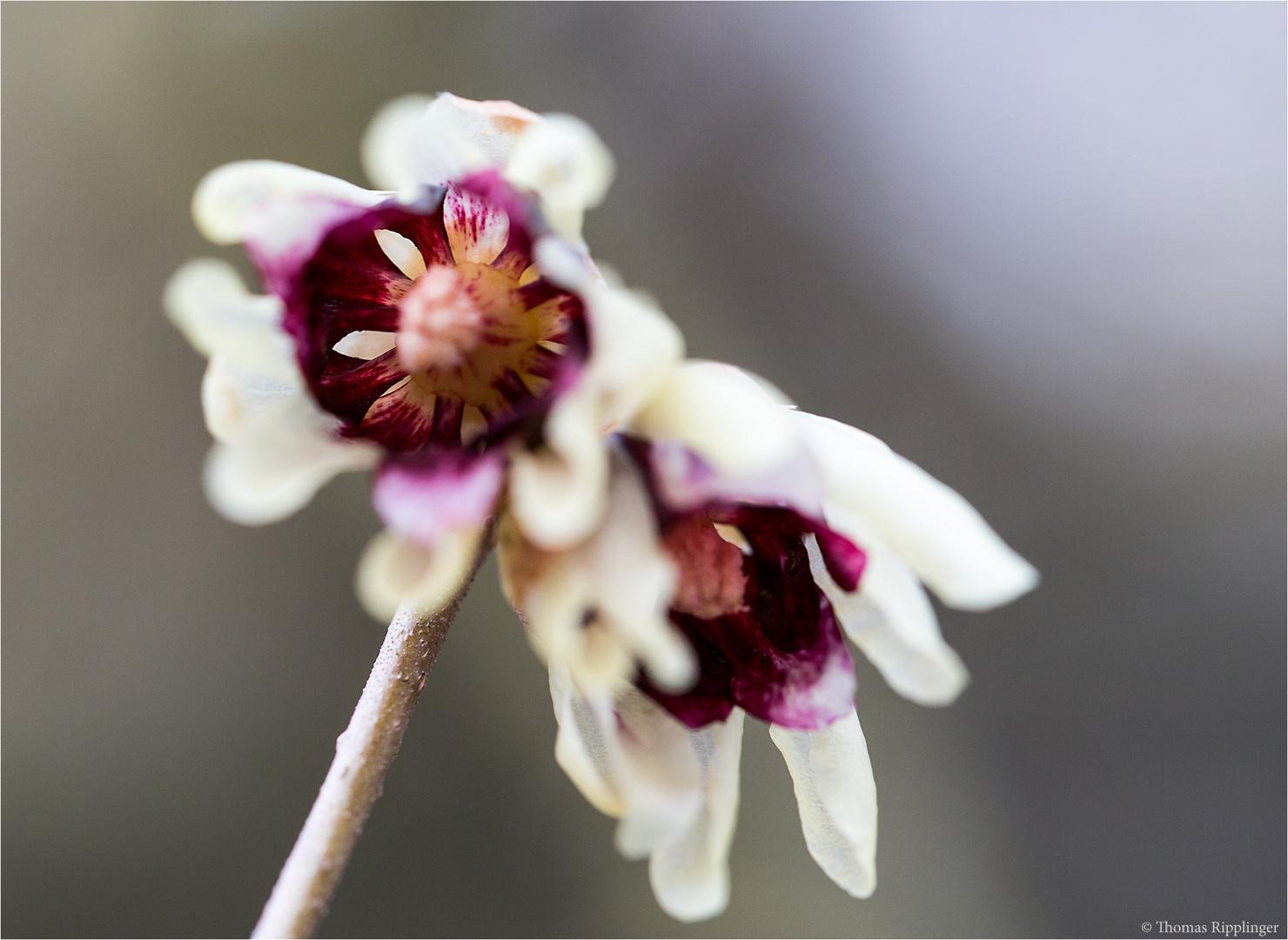 Chinesische Winterblüte (Chimonanthus praecox)....