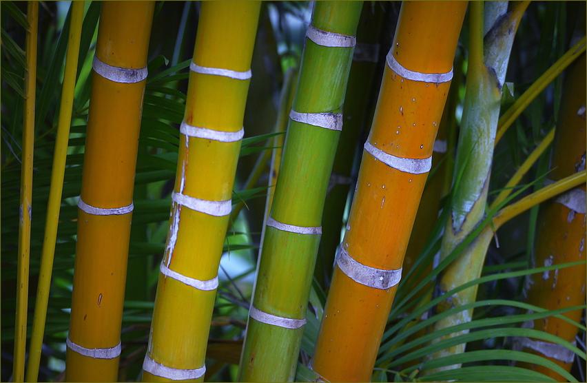 Chinesischer Bambus...