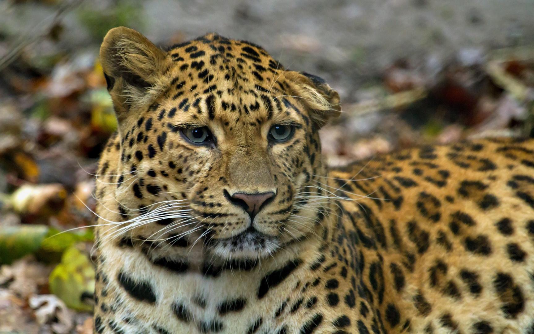 chinesischer leopard......