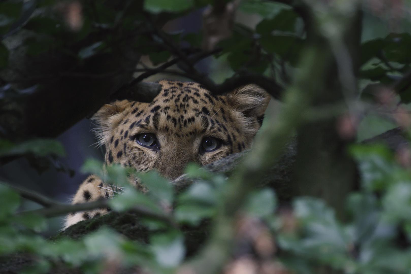 Chinesischer Leopard