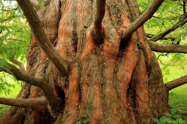 Chinesischer Urwelt-Mammutbaum