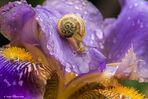 Chiocciolina su iris