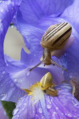 Chioccioline su Iris