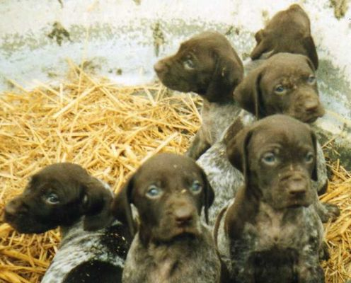 CHIOTS BRAQUE ALLEMAND