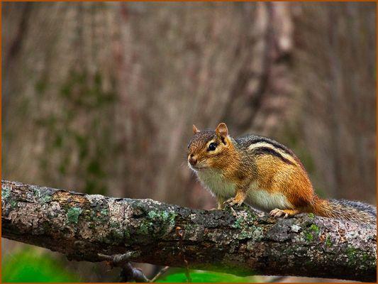 Chipmunks oder Streifenhörnchen