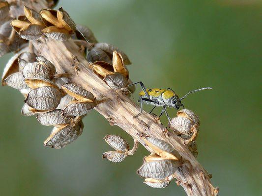 Chlorophorus pilosus