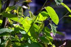 chlorophyll pur.