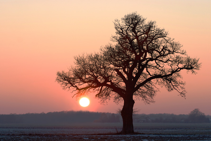 Chêne au coucher de soleil