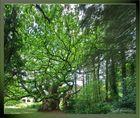 Chêne de 1500 ans