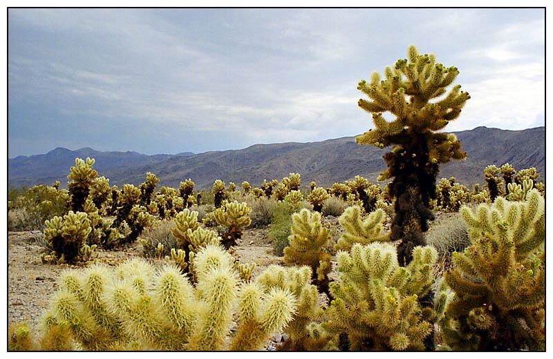 Cholla Kakteen - Joshua Tree National Park - California, USA