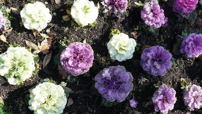 choux-fleurs de toutes les couleurs